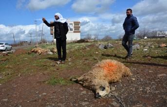 Kopan elektrik teline temas eden 11 koyun telef oldu