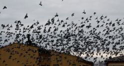 Güvercinlerin Gökyüzünde Dansı