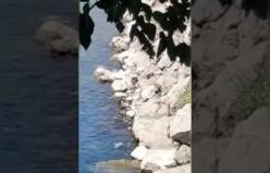 Fırat nehrinde nesli tükenme tehlikesi altında olan su samuru görüntülendi