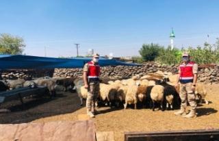 Jandarmanın Bulduğu Koyunlar Sahibine Teslim Edildi