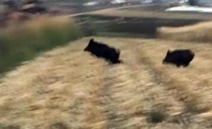 Siverek'te domuzlar köye indi